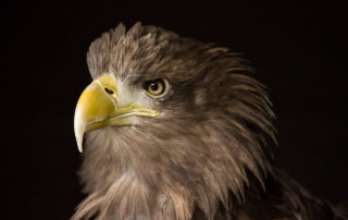Sea Eagle Profile