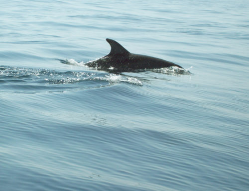 Dolphins In Tobermory Harbour